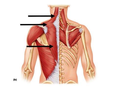 yates row muscle group