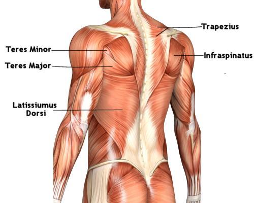 v taper, Human body