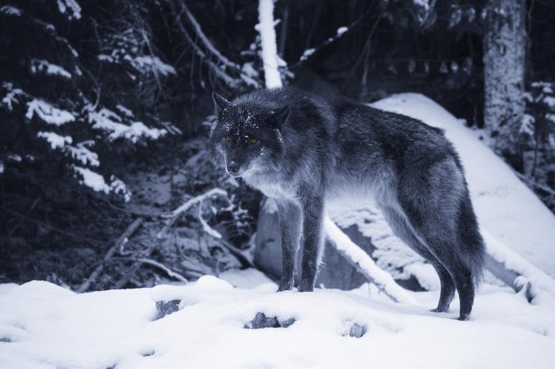 blog wolf